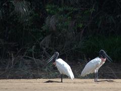 A pair of jabiru storks