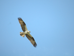 Osprey hunting for food