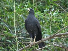 Great black hawk