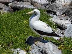 Masked booby; Abrolhos Marine National Park