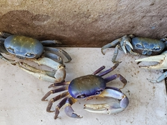 Blue land crab; Caravelas