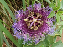 Passion flower; Chapada Diamantina
