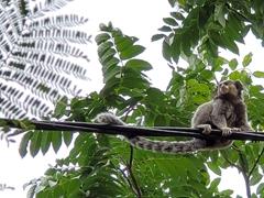 Marmoset monkey; Pratinha River complex