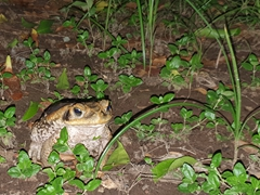 A massive toad outside our tent at our campsite in Lençóis