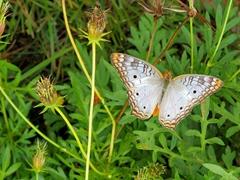 Butterfly;  Lençóis