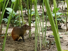 Agouti (rodent that looks like a large guinea pig)