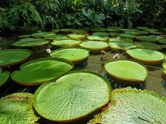 Victoria amazonica water lillies; Museu Paraense Emílio Goeldi