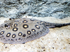 River stingray (potamotrygonidae)