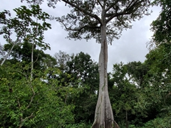 View of a kapok tree, one of the tallest trees in the Amazon rainforest