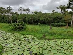 Massive lily pads; Rio Negro