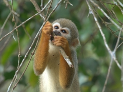 Squirrel monkey munching on grubs; Rio Negro