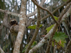 Spotting a sloth in the rainforest; Rio Negro