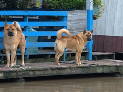 Guard dogs; floating village