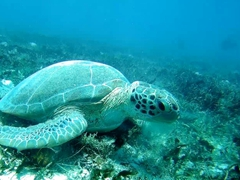 Green sea turtle munching on sea grass