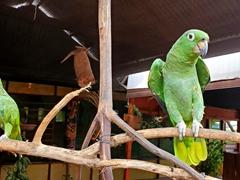 Parrots at Hospedaje Gamboa; Isla Santa Rosa