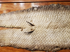 Pirarucu fish scales on display. This fish is considered the world's largest freshwater fish