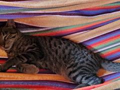 Kitten sleeping in a hammock; Leticia's Hipilandia Hostel