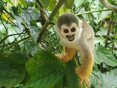 Squirrel monkey munching on some fruit