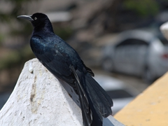 Grackle resting on the city wall; Cartagena