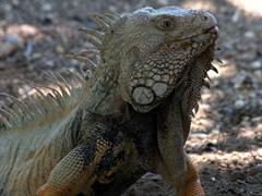 Iguana striking a pose