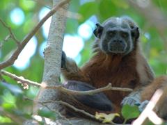 Male titi monkey staring at us