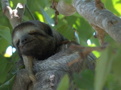 We managed to find four different sloths in a park the size of a football field; Centenario Park