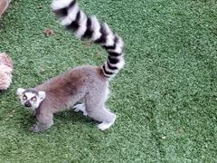 Cheeky lemur at Pai Pai Ecotourism Park