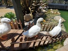 Ducks waddling to their pond; Pai Pai Ecotourism Park