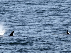 Everyone hurried up on deck for a glimpse of this pod of orcas