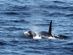 Orca mother and calf