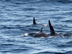 The orcas appeared to be hunting for prey