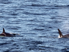 It was mesmerizing watching the orcas!