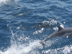 Common dolphins putting on a show