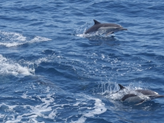 Dolphins racing the Nautilus Belle Amie