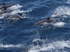 This superpod had well over a thousand dolphins which we learned is a rare event