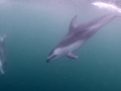 So much fun swimming with playful dolphins!