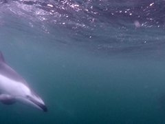 Pacific white-sided dolphin checking us out