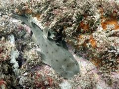Horn shark; Isla Santa Margarita