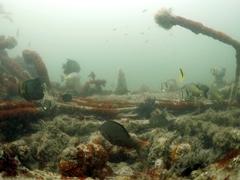 Marine life thrives on the wreckage of the H1 Seawolf; Baja California