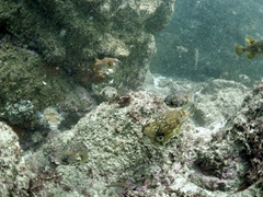 Porcupinefish
