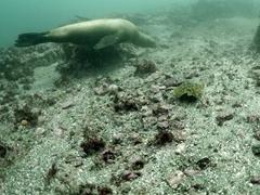 Sealion chasing a Cortez round stingray