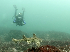Horn shark with Robby in the background for size perspective