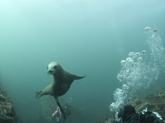 Another curious sealion approaches