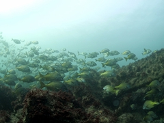 Schooling fish on the 1853 Steamship Independence wreck