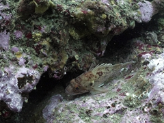 Rockfish trying to hide in a crevice