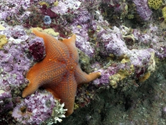 Sea star thriving in the frigid water