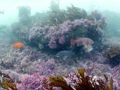 Pretty underwater scene with California Sheephead and Garibaldi fish