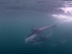 Swimming with Pacific white-sided dolphins!