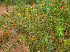 Wildflowers; Palo Duro Canyon state park