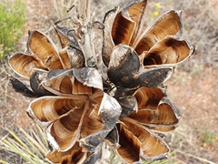 Yucca plant seed pods